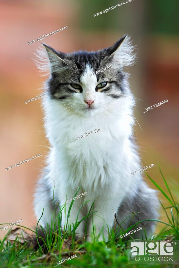 Stock Photo: Cat / Sao Miguel Island / Azores / Portugal.