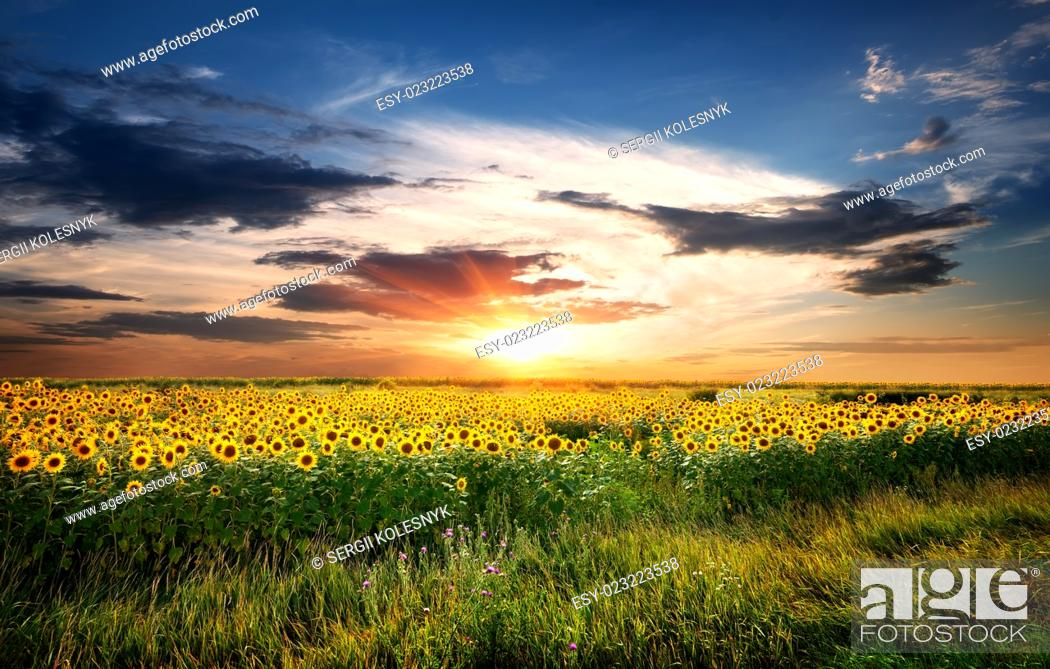 Stock Photo: Field of yellow blossoming sunflowers at sunrise.