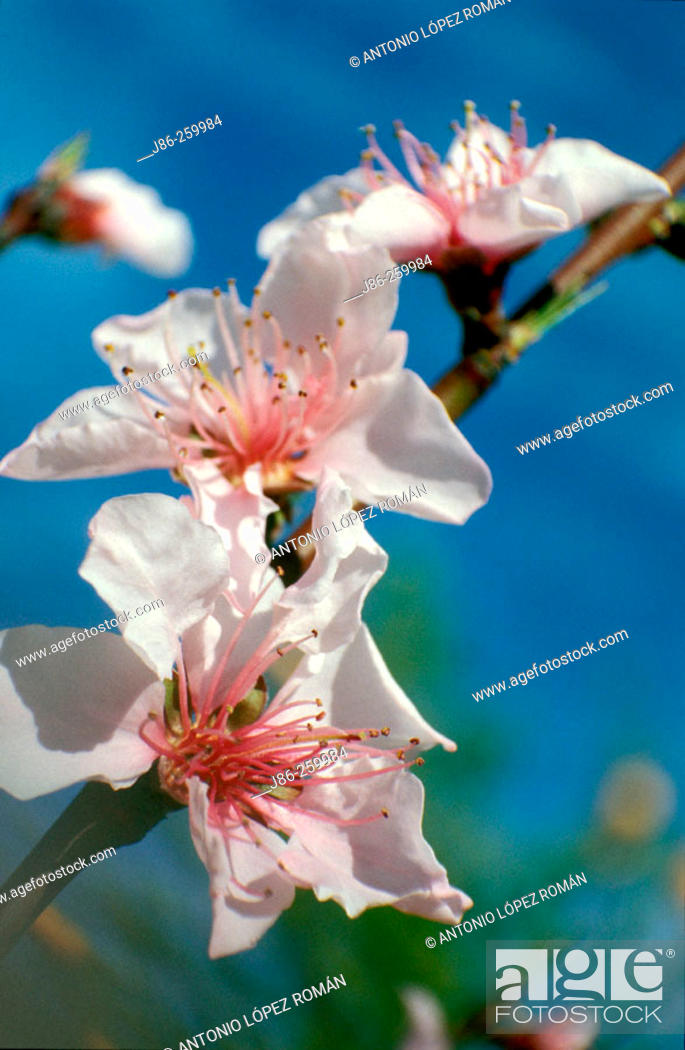 Stock Photo: Flower of Wild Plum (Prunus americana).