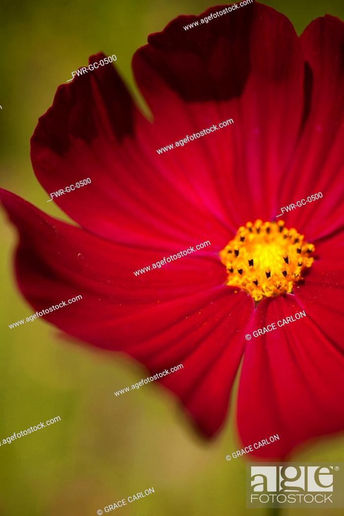 Stock Photo: Cosmos, Red coloured flower growing outdoor showing stamen.-.