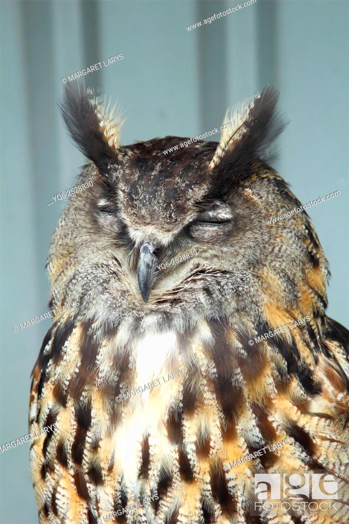 Stock Photo: European Eagle Owl, Bubo Bubo sleeping in the Bird's Centre near Cambernould, Scotland, close up portrait.