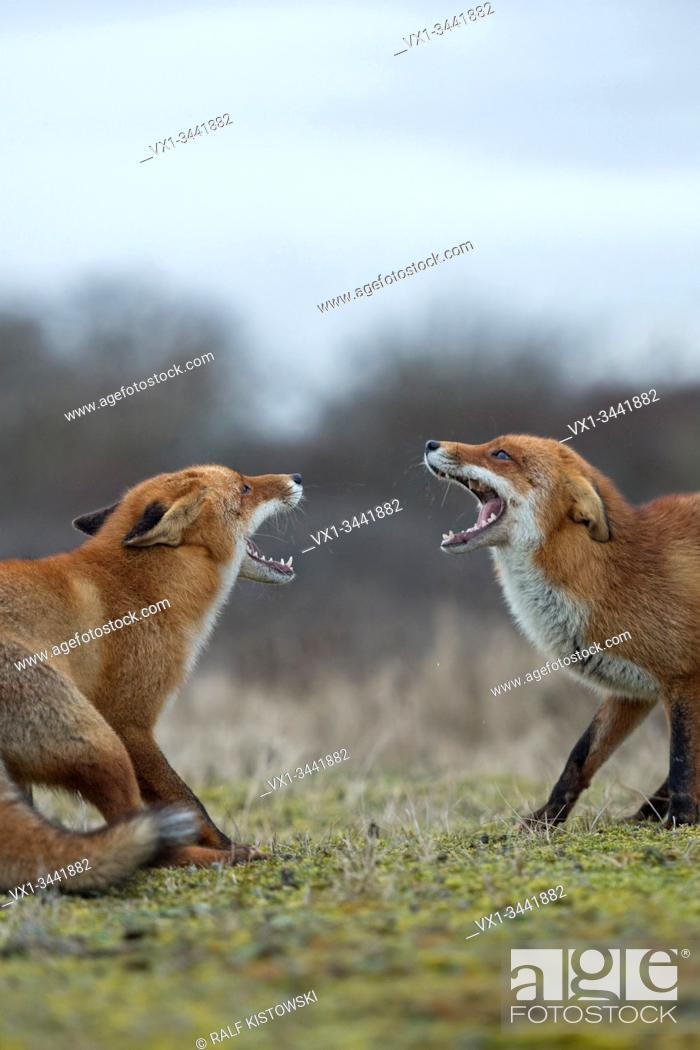 Stock Photo: Red Fox / Rotfuchs ( Vulpes vulpes ), confrontation of two adults, standing in opposite, fighting, threatening, wide open jaws, trying to chase each other.