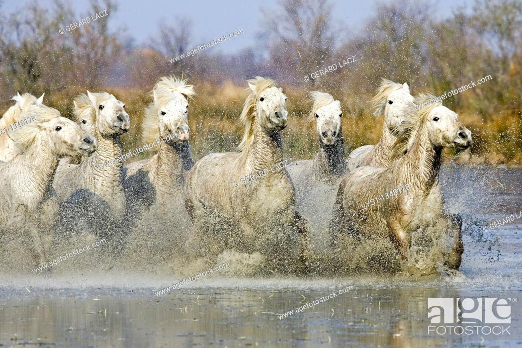 Stock Photo: CAMARGUE HORSE, HERD GALOPPING IN SWAMP, SAINTES MARIE DE LA MER IN SOUTH OF FRANCE.