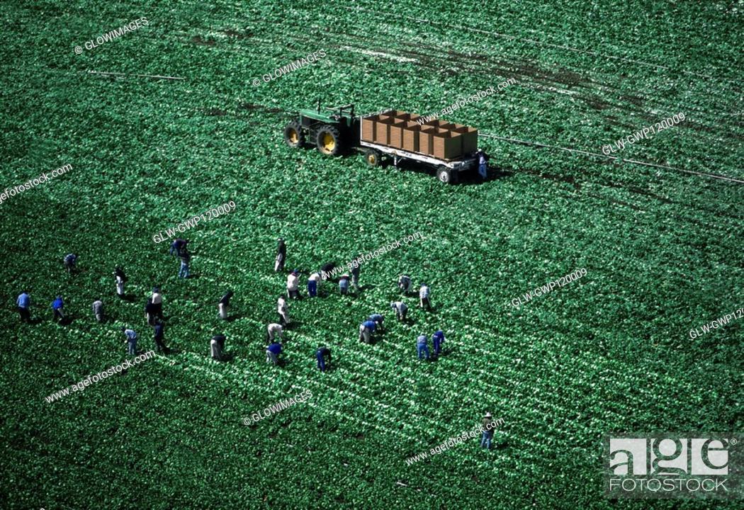 Stock Photo: Aerial, harvesting head lettuce.