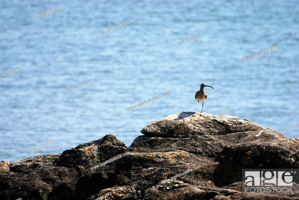 Stock Photo: A bird standing on one leg in Brittany, France. Calidris ferruginea.