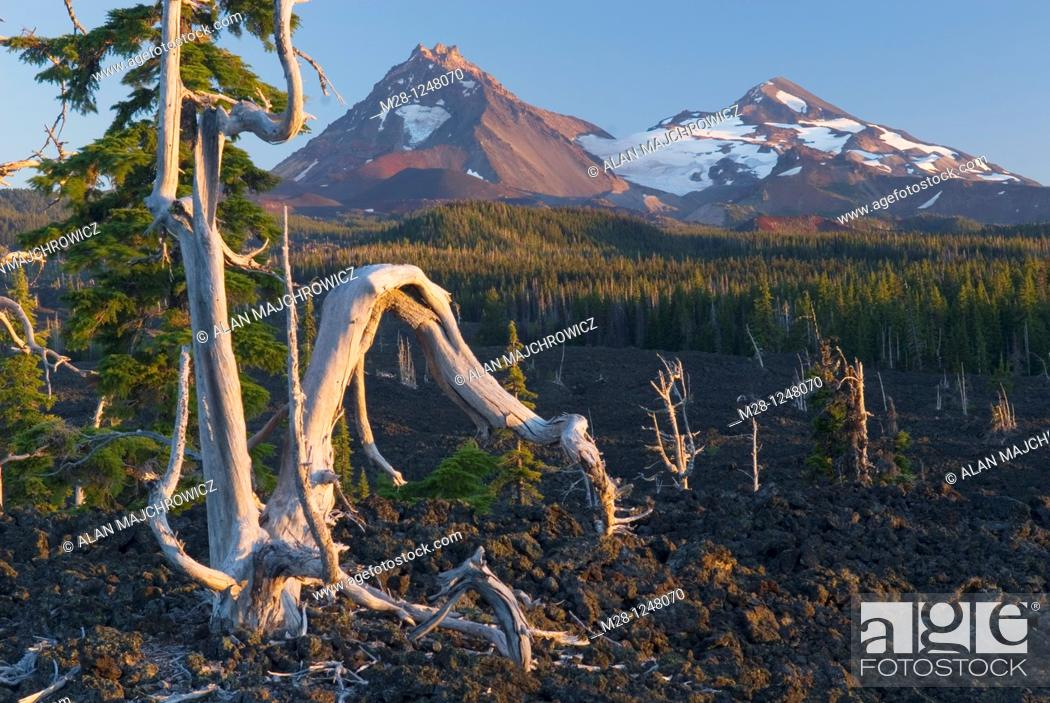 Stock Photo: Sun bleached trees stand out among the black lava fields of McKenzie Pass Oregon  The Three Sisters volcanoes are in the distance.