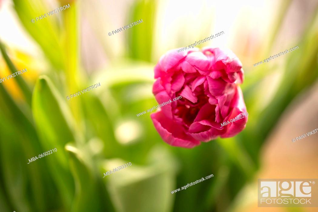 Stock Photo: Beautiful purple tulip in springtime.