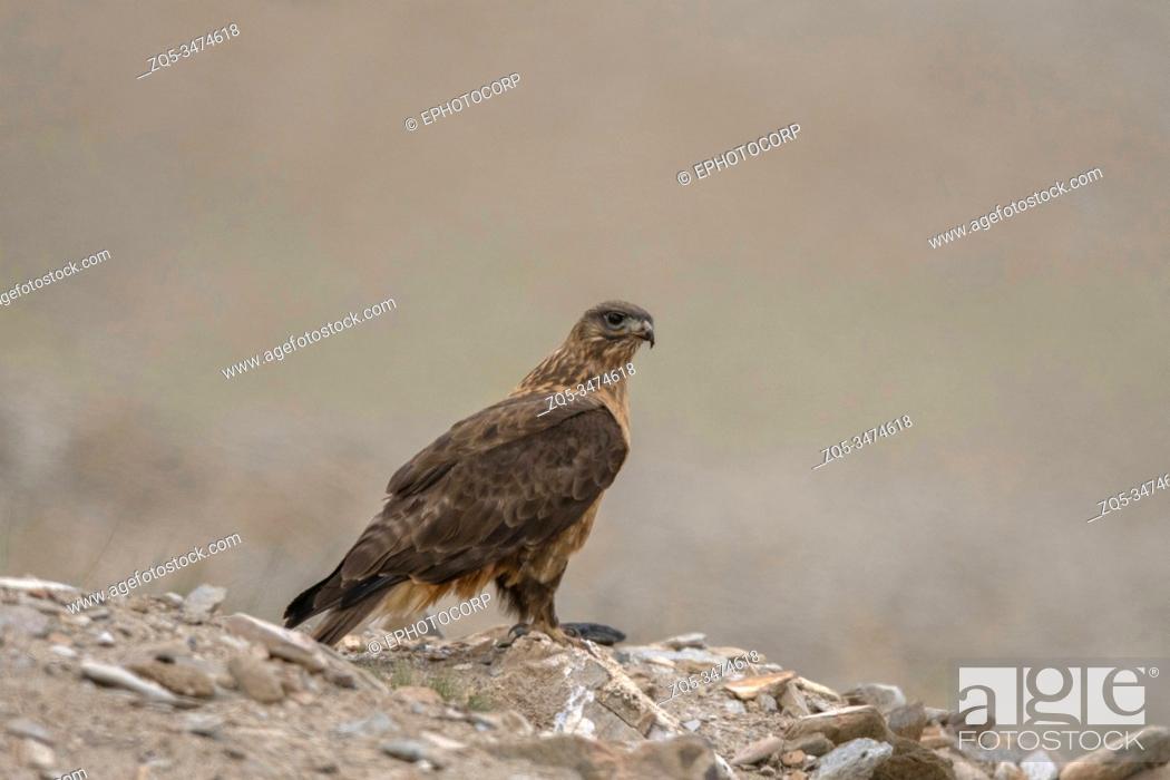 Stock Photo: Upland Buzzard, Buteo hemilasius, Ladakh, Jammu and Kashmir, India.