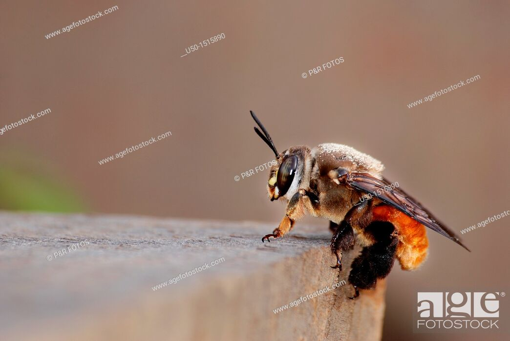 Stock Photo: Female of Oil bee, Centris sp , Centridinae, Apidae, Hymenoptera.