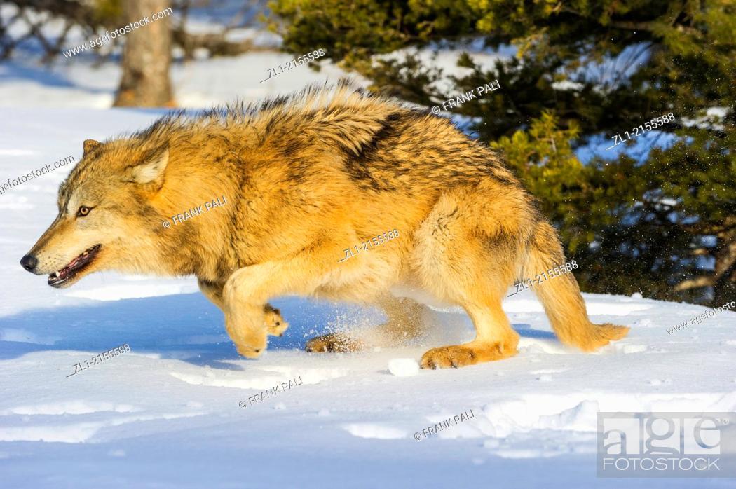 Stock Photo: Grey Wolf Timber Wolf (Canis lupus), Bozeman, Montana, USA.