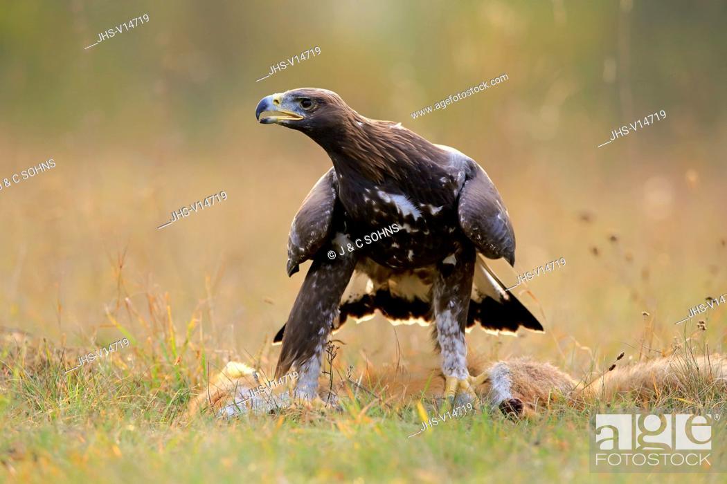 Stock Photo: Golden Eagle, (Aquila chrysaetos), adult on ground with prey calling, Rimavska Sobota, Slovak Republic, Europe.