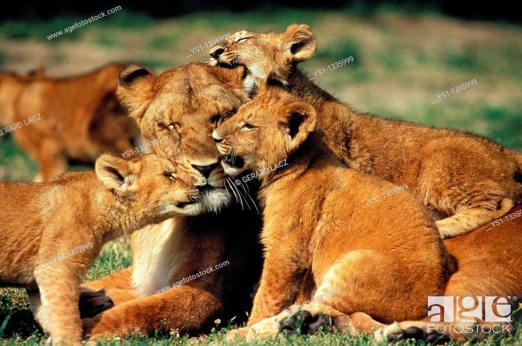 Stock Photo: AFRICAN LION panthera leo, FEMALE WITH CUB, KENYA.