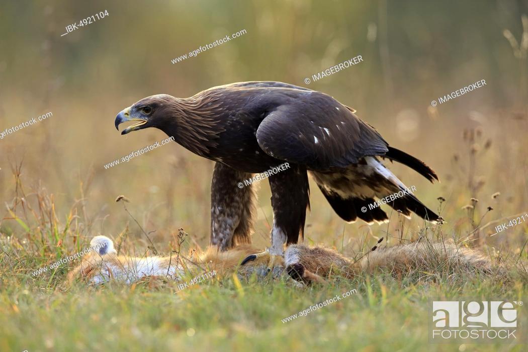 Stock Photo: Golden eagle (Aquila chrysaetos), adult, standing on captured red fox, Slovakia, Europe.