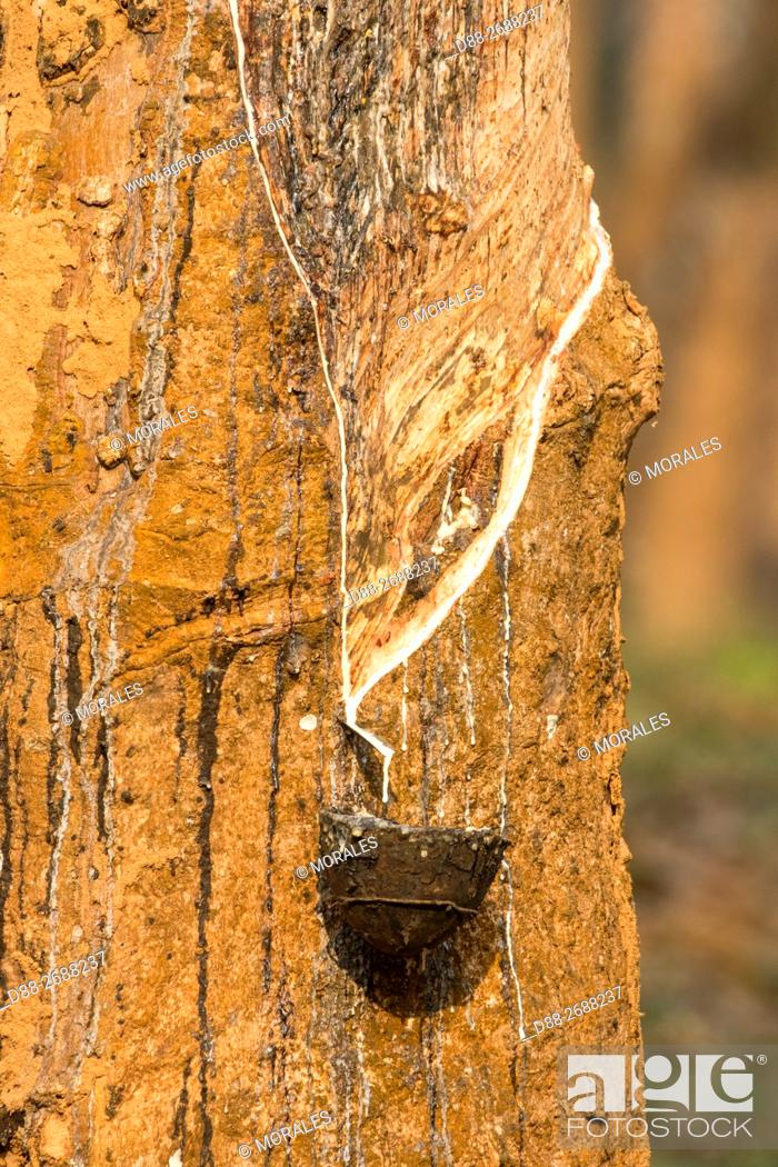 Stock Photo: South east Asia, India,Tripura state,harvesting latex from rubber trees.