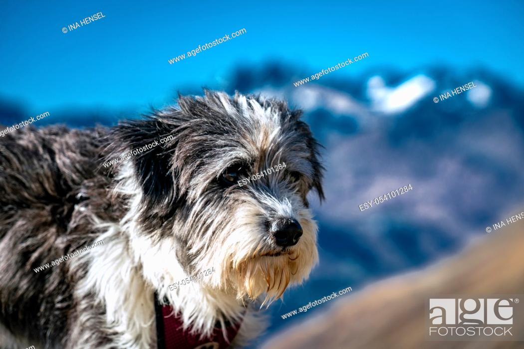 Stock Photo: Portrait of a fluffy black and white dog high up on a mountain at the Timmelsjoch alpine pass with the Texel group mountains in the background.