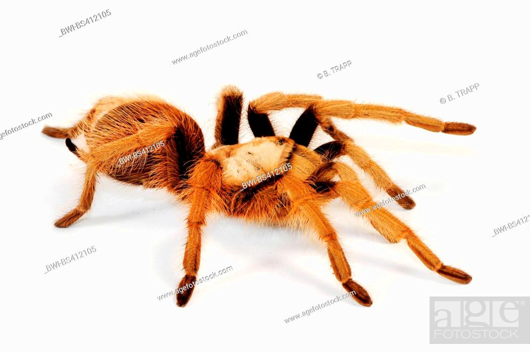Imagen: Mexican blond tarantula, Arizona blond tarantula (Aphonopelma chalcodes), cut-out.