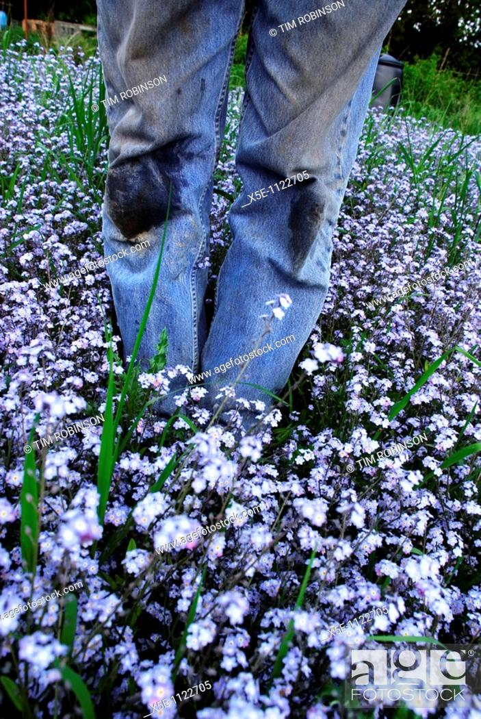Stock Photo: Legs of gardener wearing dirty jeans standing in patch of forget me knots.
