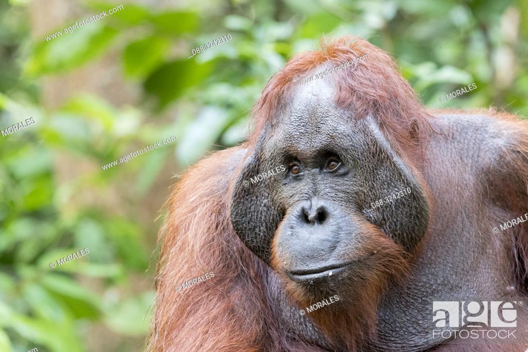 Stock Photo: Asia, Indonesia, Borneo, Tanjung Puting National Park, Bornean orangutan (Pongo pygmaeus pygmaeus), adult male in a tree.