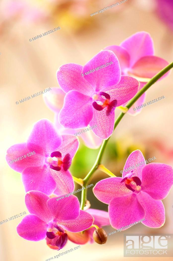Stock Photo: Phalaenopsis 'Brother Oconee' orchid.