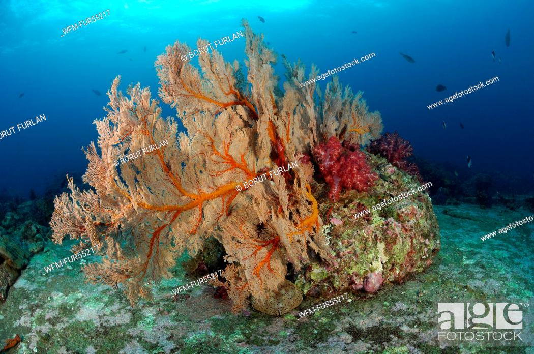 Stock Photo: Seafan in Coral Reef, Melithaea sp., Similan Islands, Thailand.