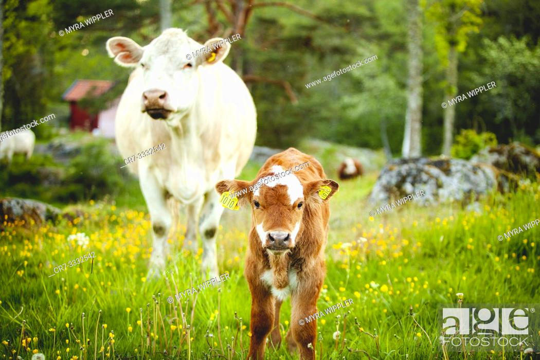 Stock Photo: Female cow and son in summer pasture.