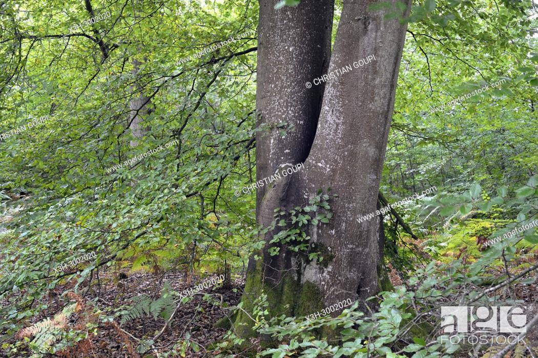 Stock Photo: remarkable common beech tree in the Forest of Rambouillet, Haute Vallee de Chevreuse Regional Natural Park, Department of Yvelines, Ile de France Region, France.