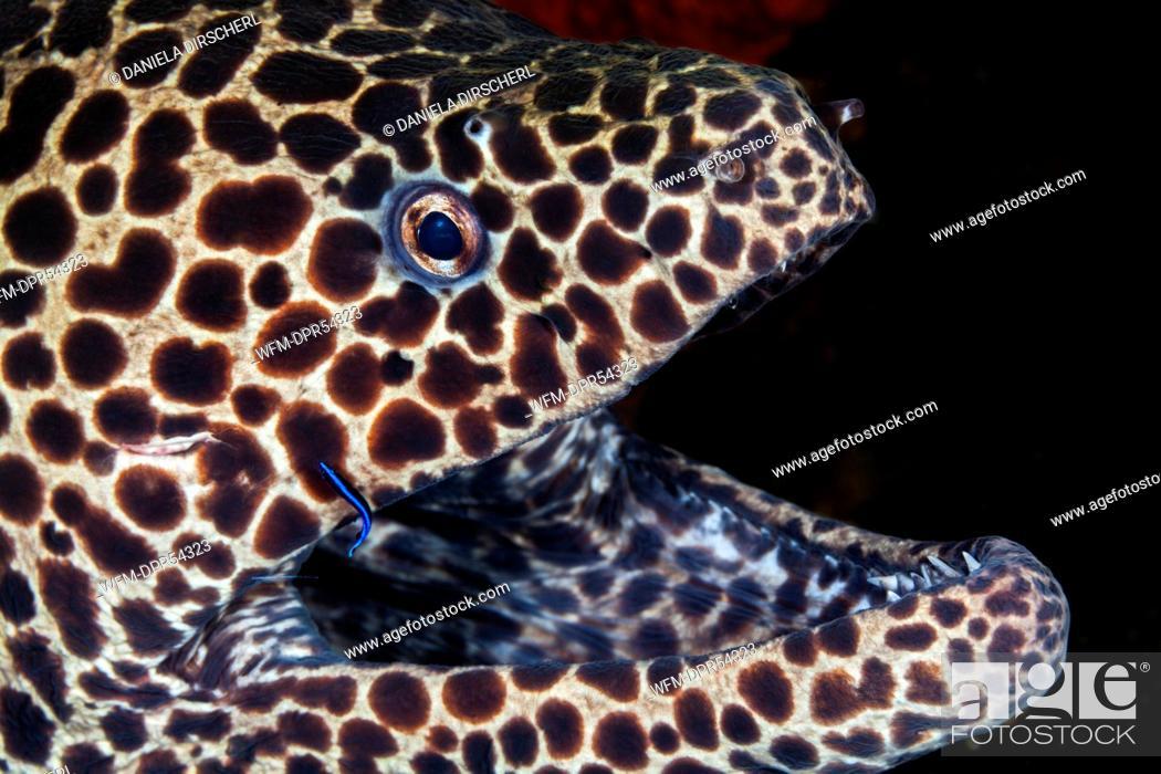 Stock Photo: Honeycomb Moray, Gymnothorax isingteena, Bali, Indonesia.