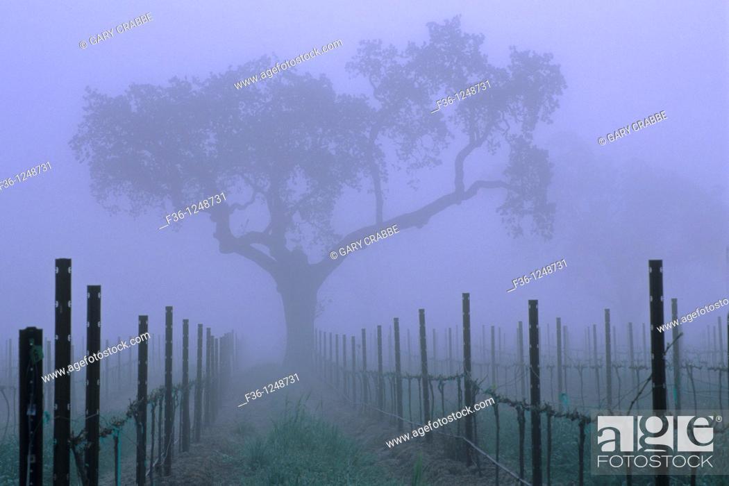 Stock Photo: Oak tree and fog in vineyard in spring, near Villa Toscana, Paso Robles, San Luis Obispo County, California.