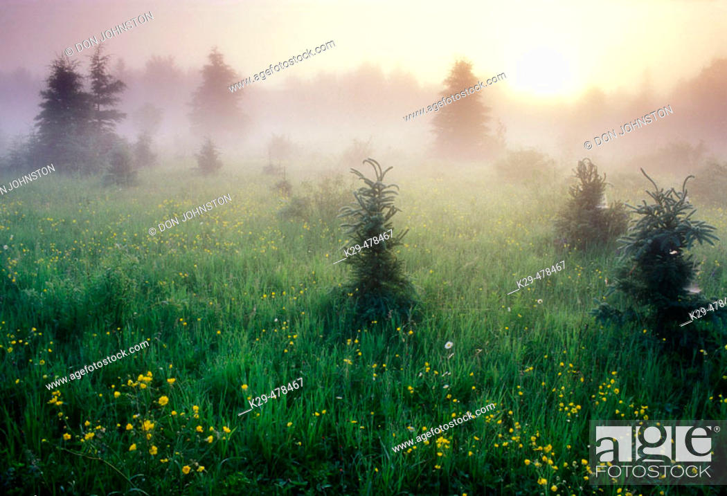 Stock Photo: Bloom of buttercup in  meadow with spruces and morning mists at sunrise. Lively. Ontario, Canada.