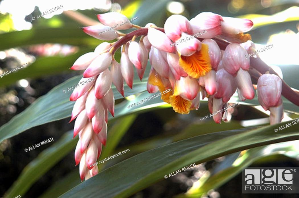 Stock Photo: Close-up of a branch of white and pink shell ginger.
