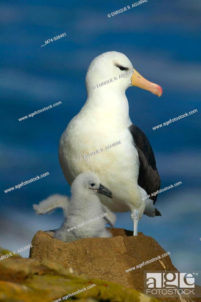 Stock Photo: Black-browed albatros (Diomedea melanophris). Falkland Islands, South Atlantic.