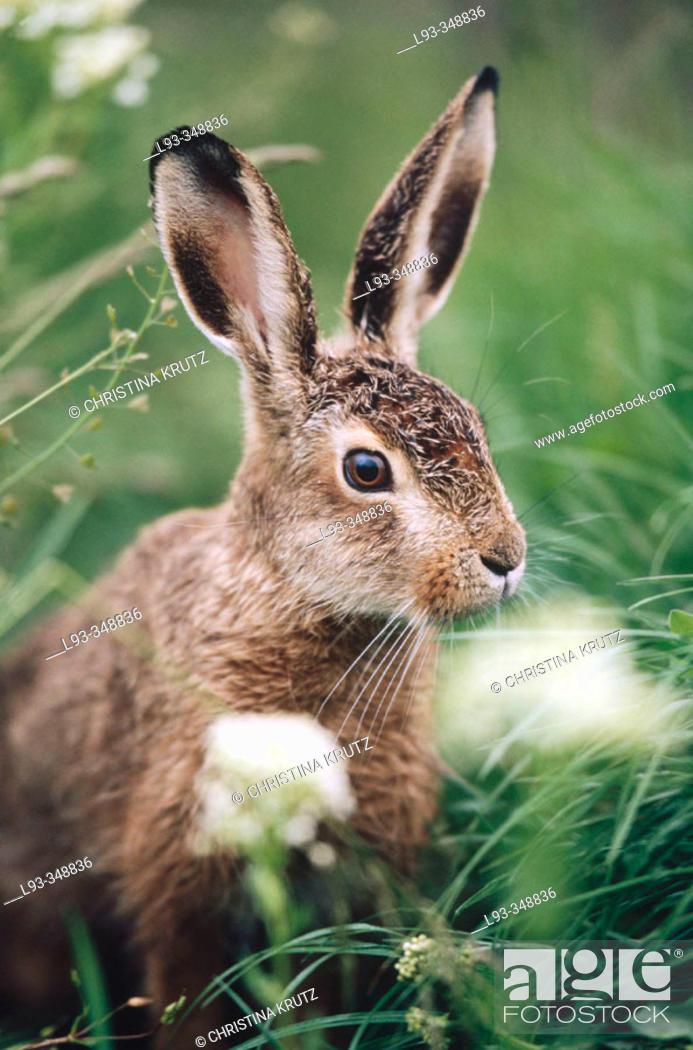 Stock Photo: Hare (Lepus europaeus).