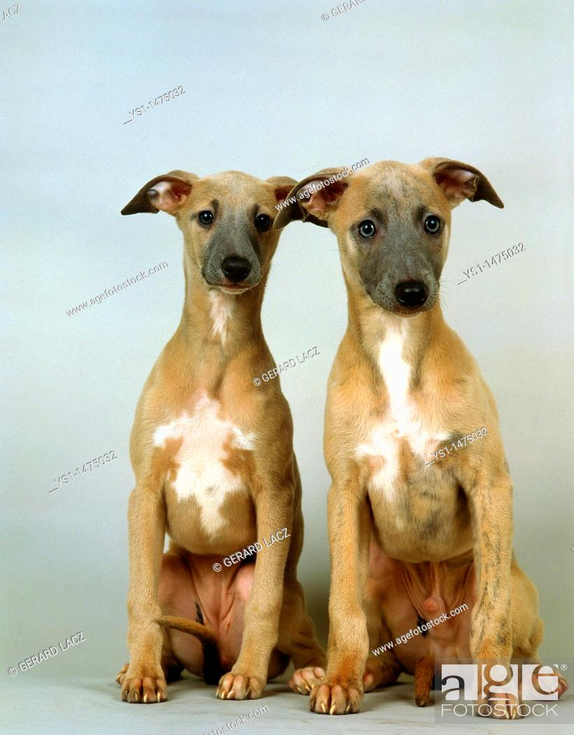 Stock Photo: Whippet Dog, Pup sitting against White Background.