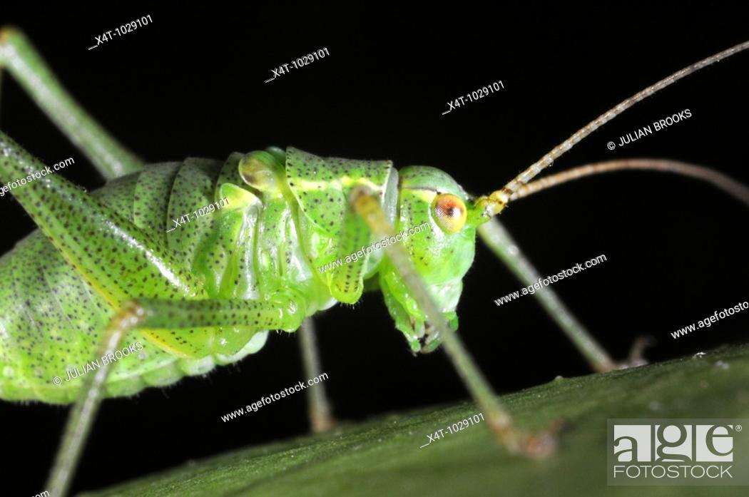 Stock Photo: Speckled bush Cricket Leptophyes puctatissima on leaf.