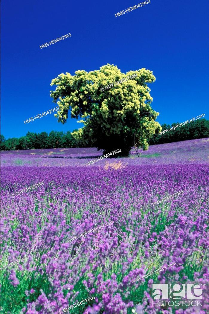 Stock Photo: France, Drome, chestnut tree in a lavender field in Ferrassieres.