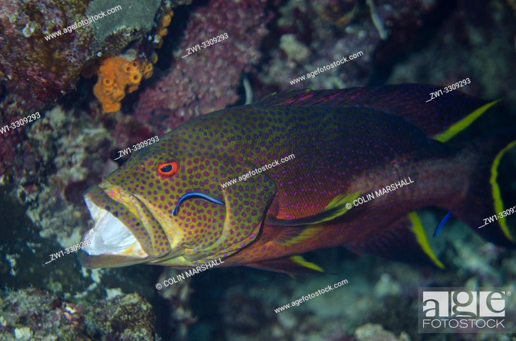 Stock Photo: Coronation Grouper (Variola louti) being cleaned by pair of Bluestreak Cleaner Wrasse (Labroides dimidiatus), Sawanderek Jetty dive site, Mansuar Island.