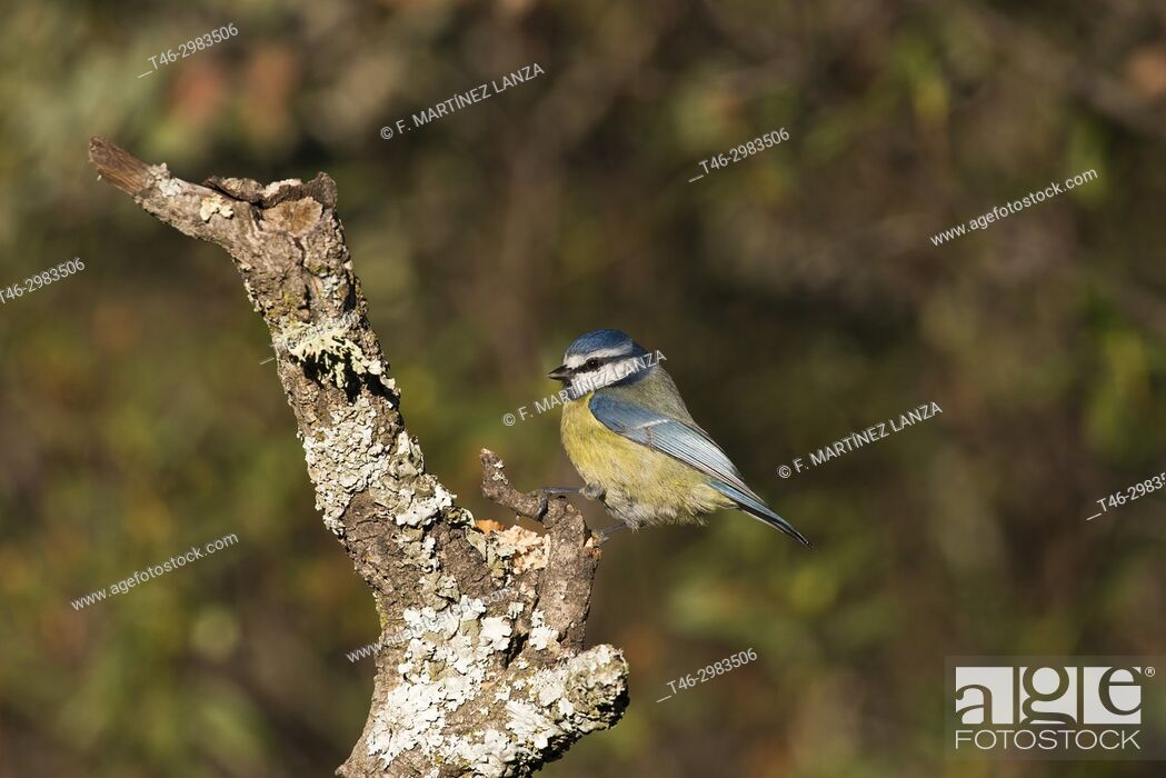 Stock Photo: blue tit (Cyanistes caeruleus). Photographed in the Regional Park of the Guadarrama River Madrid.