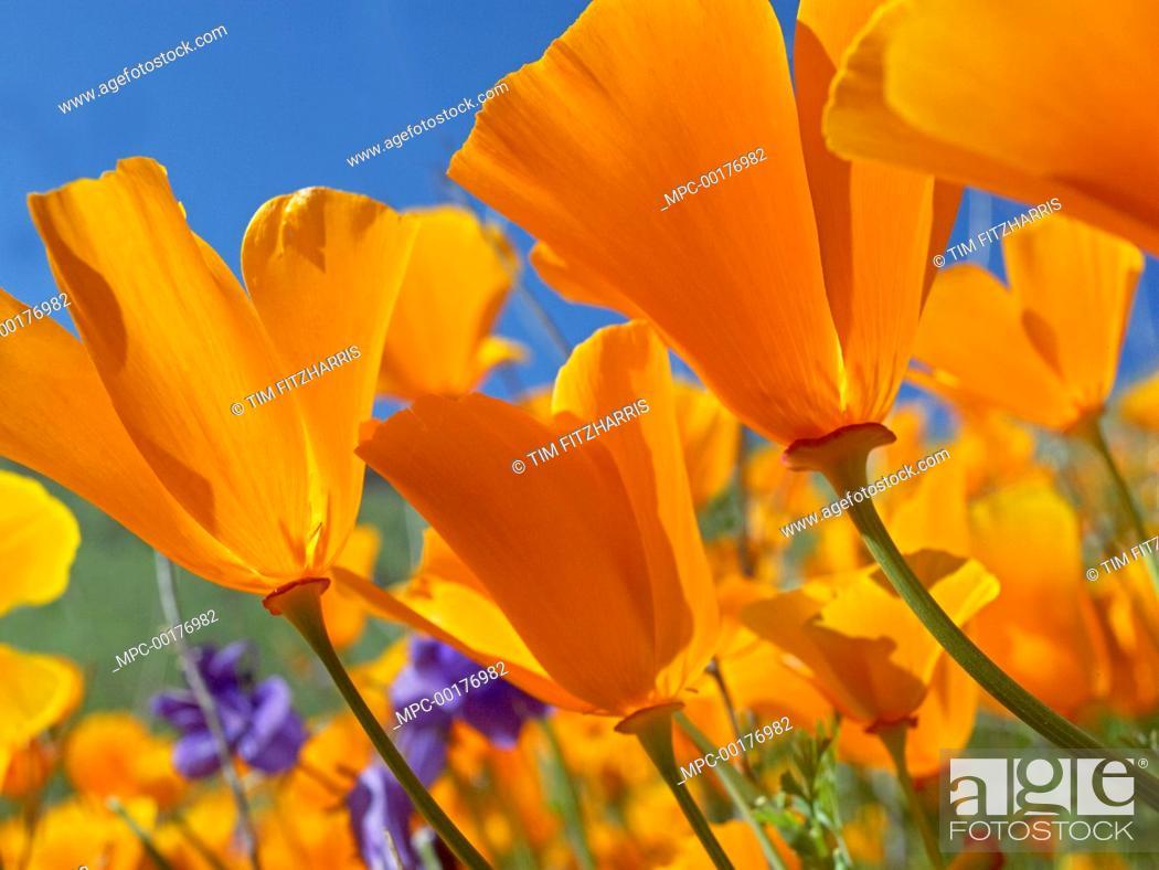 Stock Photo: California Poppy (Eschscholzia californica) flowers, Antelope Valley, California.