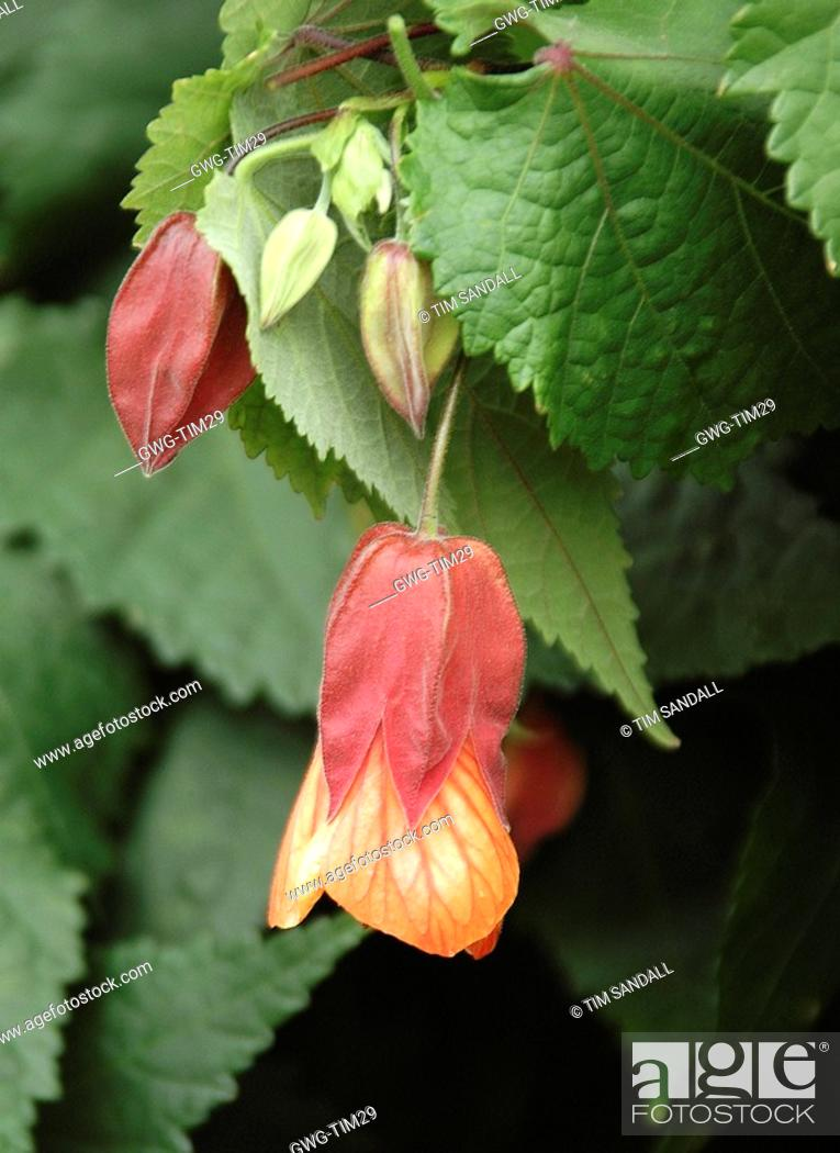 Abutilon Megapotamicum Flowering Maple Or Trailing Abutilon Stock