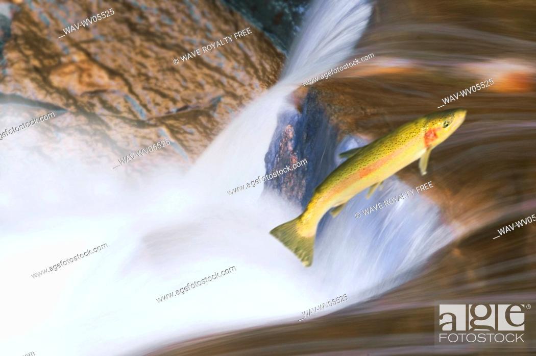 Stock Photo: Miigrating Steelhead Salmon leaping over falls.