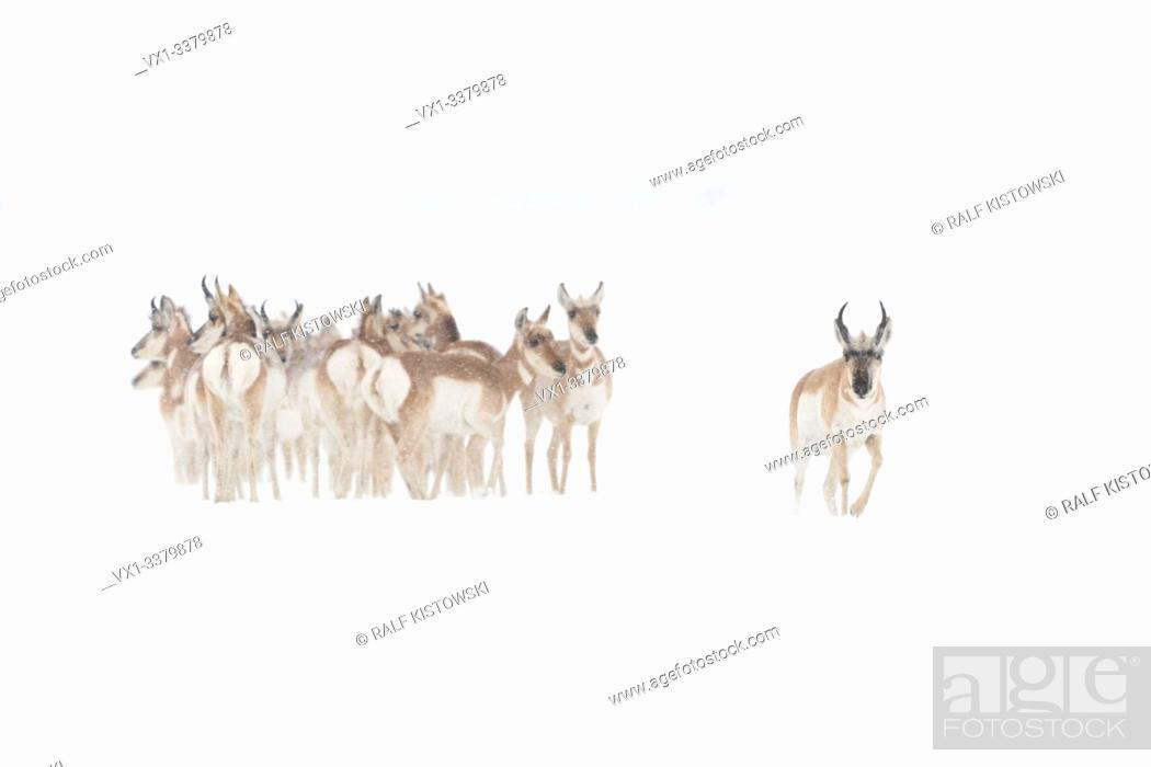 Stock Photo: Pronghorns ( Antilocapra americana ) in winter, small group, crowded togehter, seems anxious, one couraged male walks ahead, USA.