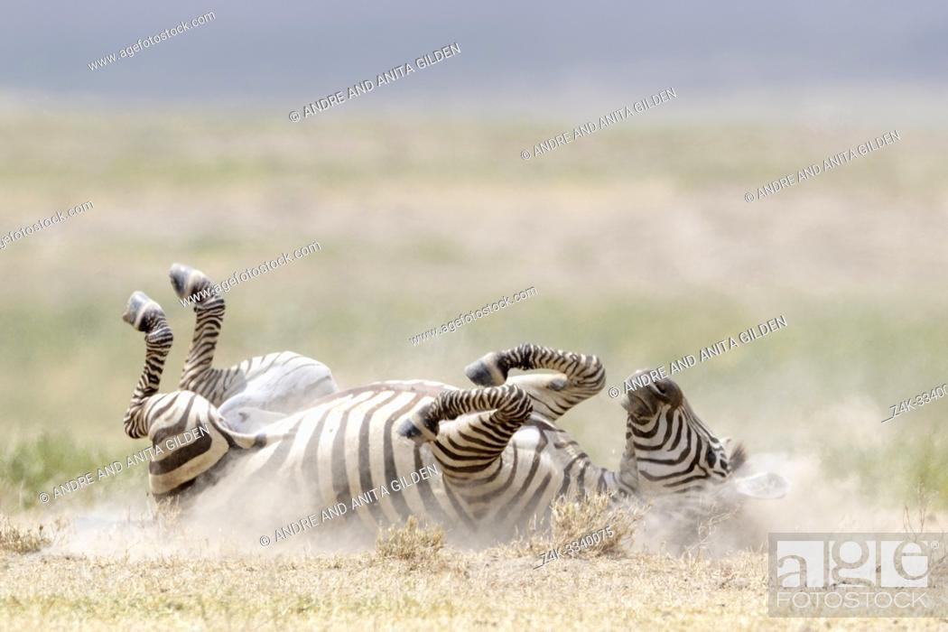 Stock Photo: Common or Plains Zebra (Equus quagga) rolling in the dust on savanna, Ngorongoro crater national park, Tanzania.