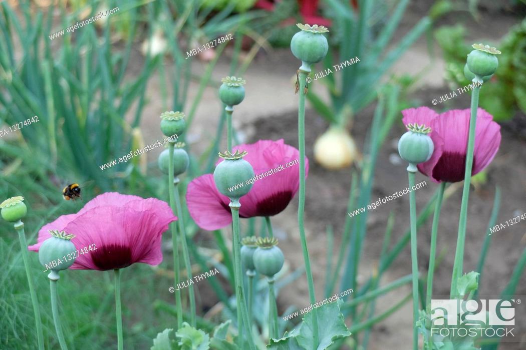 Imagen: Opium poppy (Papaver somniferum) with flowers and seed pods in the vegetable garden.