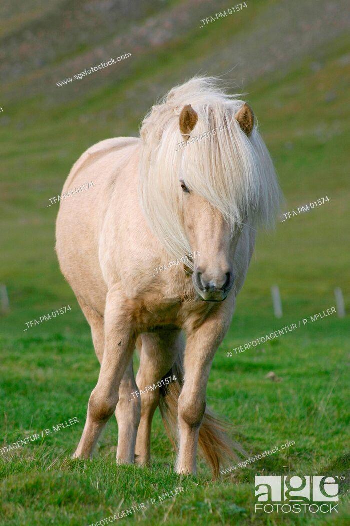 Imagen: Icelandic horse.