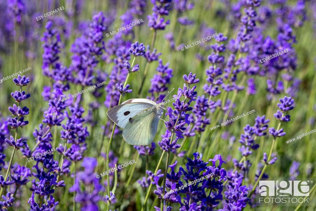 Stock Photo: Cabbage White Buterfly (Pieris brassicae) resting on a lavender flower.