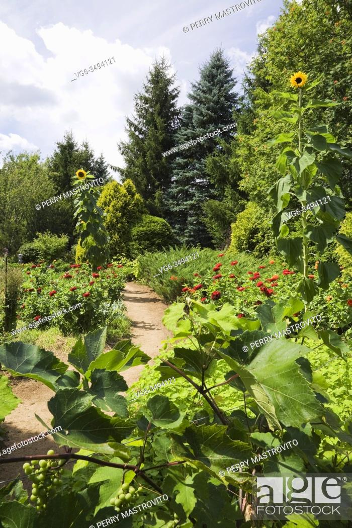Stock Photo: Vitis 'Eona' - Grapevine and brown dirt path through borders with red Zinnias and Helianthus annuus - Sunflowers in backyard garden in summer.
