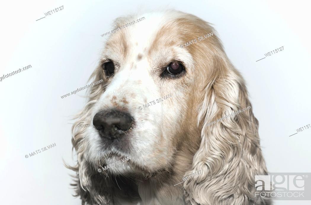 Stock Photo: Headshot on a cocker spaniel dog.