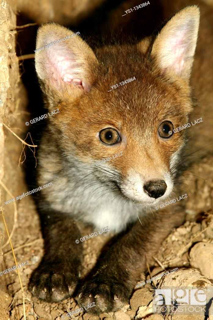 Stock Photo: RED FOX vulpes vulpes, PUP AT DEN ENTRANCE, NORAMNDY IN FRANCE.
