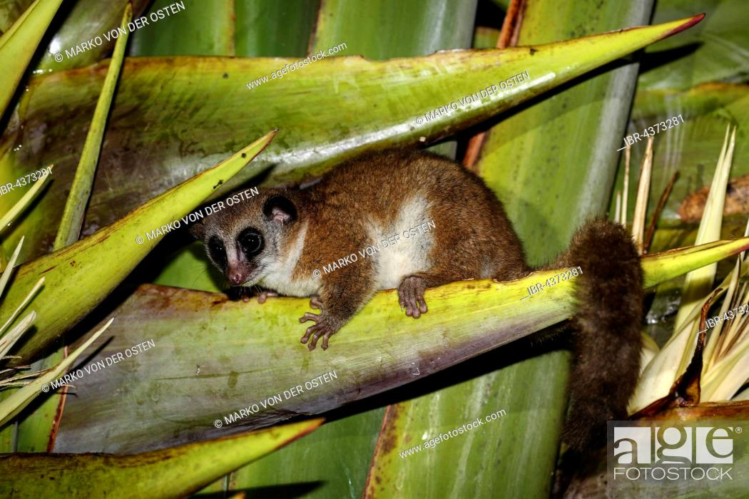 Stock Photo: greater dwarf lemur (Cheirogaleus major) sitting in plant, Analamazoatra, Andasibe-Mantadia National Park, eastern Madagascar, Madagascar.