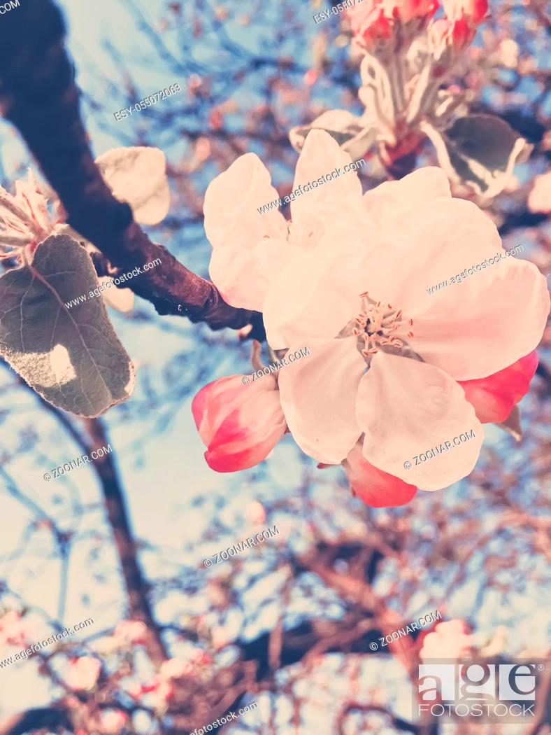 Stock Photo: Blooming apple tree flowers in spring as floral background, nature and agriculture.
